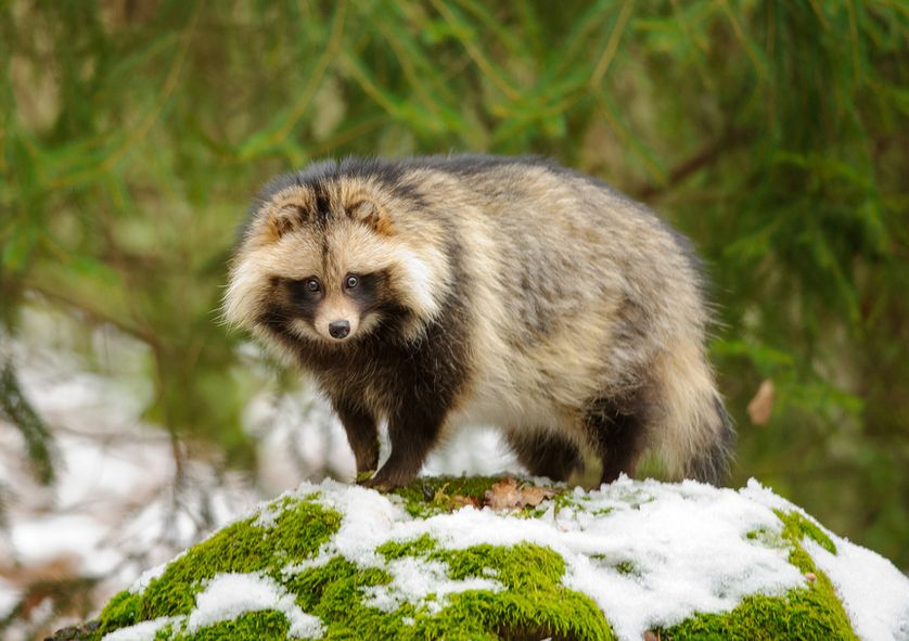 A tanuki in winter snow